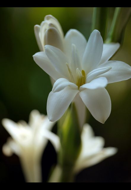 ~~Tuberose Flower (polianthes tuberosa) by sasithorn_s~~