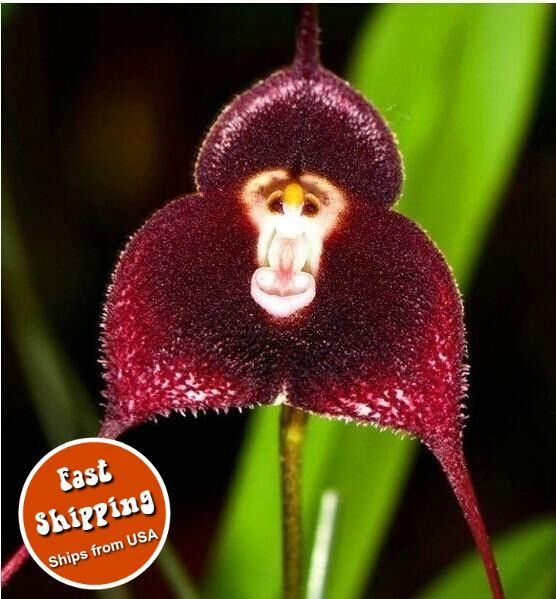 100pc/bag - Rare Monkey Face Orchid Seeds Orchis Simia Senior Phalaenopsis-https://goo.gl/9wUacR  #awesomesauce