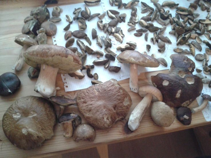 Mashroms:) #mashroms #nature #herbs #grzyby #ziola More at our facebook profile: https://www.facebook.com/herballeaf