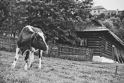 bwstock.photography - photo | free download black and white photos  //  #cow #wooden #house