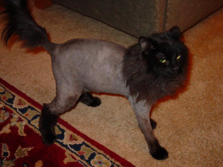14 Best Cat Grooming Images On Pinterest Cat Grooming Kitty Cats