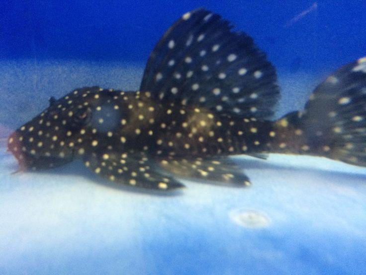 Vampire pleco live freshwater fish live freshwater fish for Vampire fish for sale