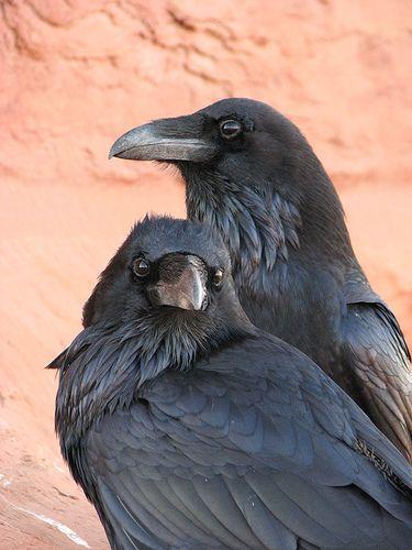 Couple de corbeaux. Les corbeaux ont un niveau élevé de concentration et de flexibilité mentale qui n'existent que chez certaines espèces animales; que tous les humains ne possèdent pas...