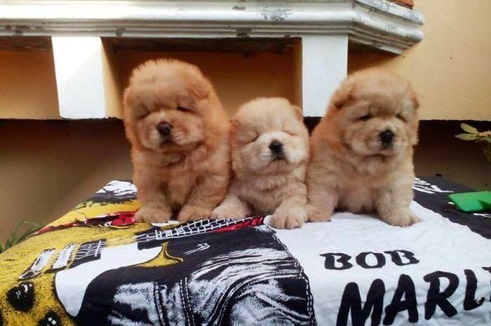 14 Puppies die lijken op een TeddyBeer - GrapjeBedankt.nl