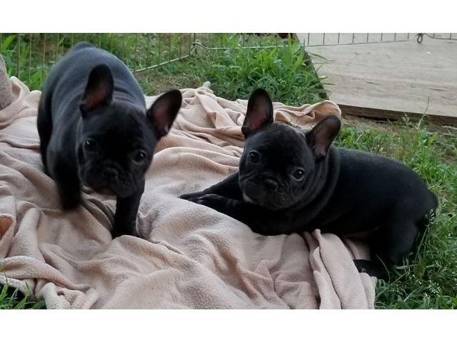 Adorable French Bulldog Puppies Bulldog Puppies Cute French