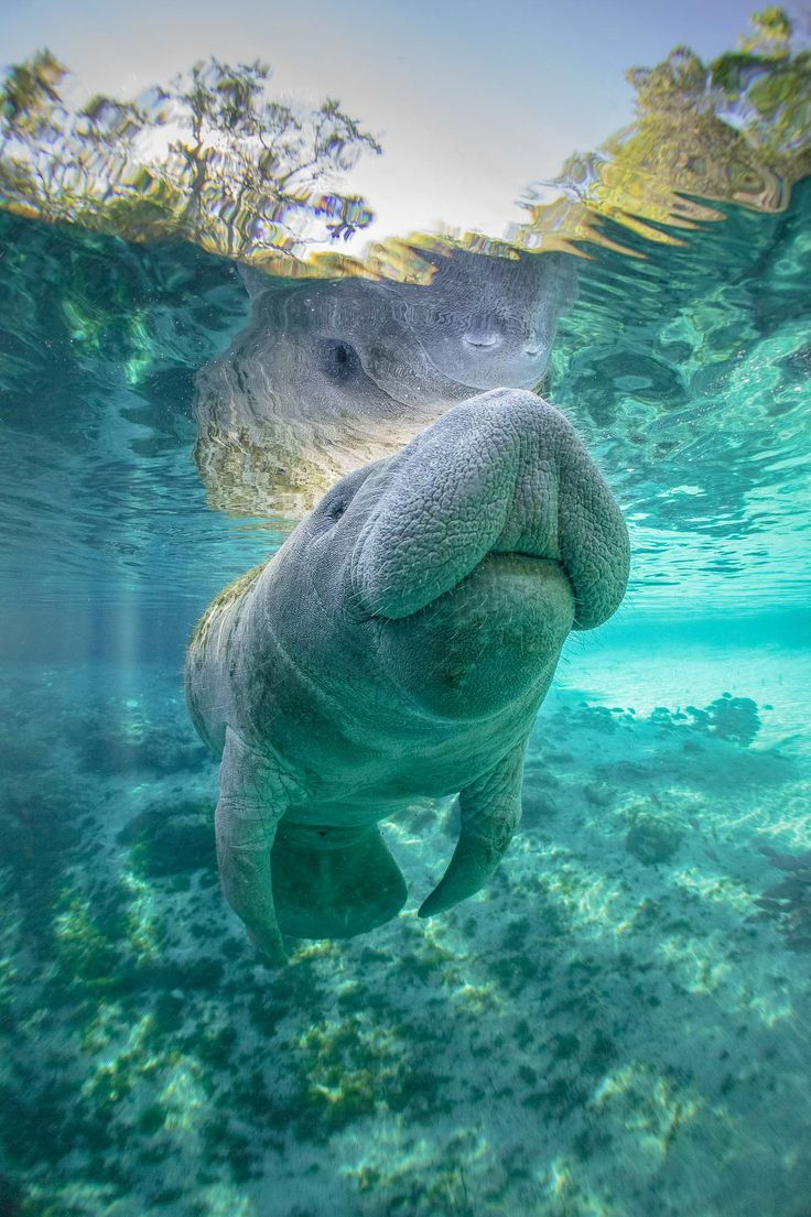 This is where to swim with manatee in Florida...