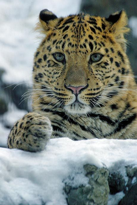Amur Leopard Near Extinction -- Only About 30 Remain...seriously love this big cat!