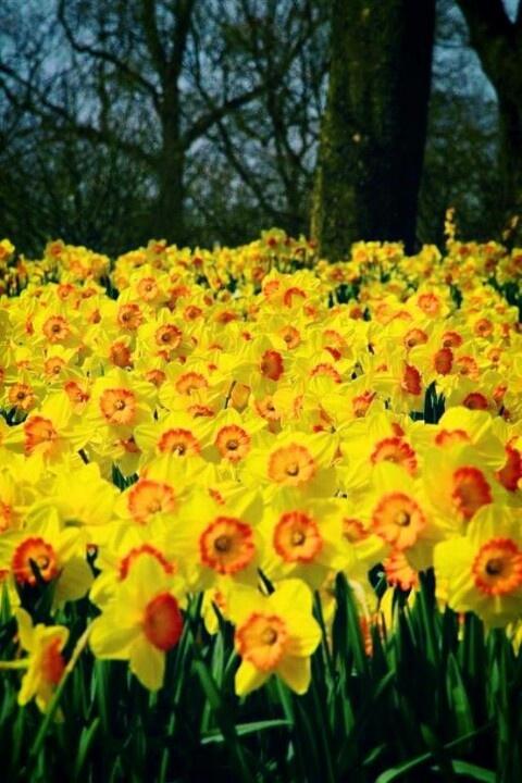 Daffodil garden  www.perugiaflowershow.com
