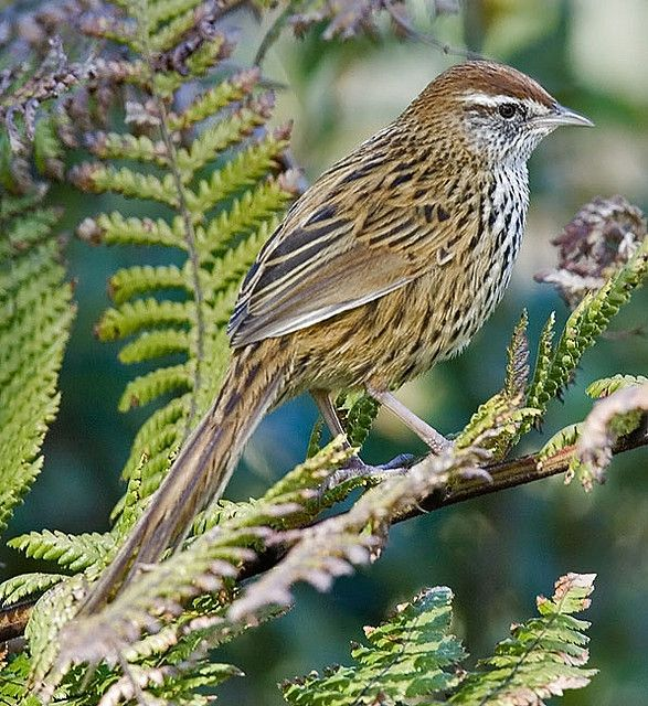 New Zealand's endangered South Island Fernbird by 57Andrew, via Flickr