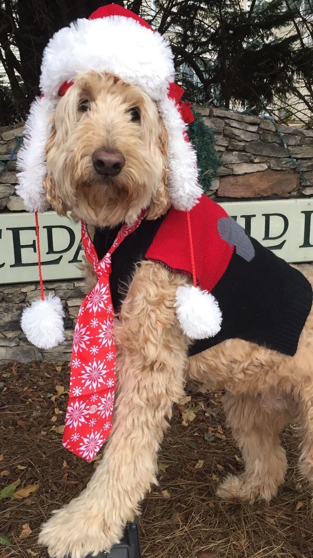 All Dressed Up For The Holidays Goldendoodle Doodles Doglovers