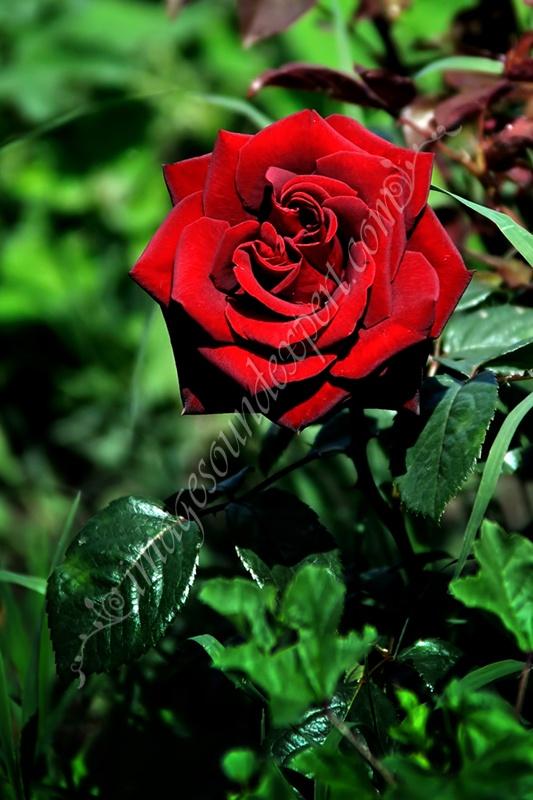 roses of love, rosen der liebe, roses de l'amour, trandafiri cu miros de iubire