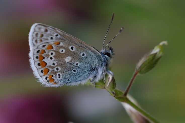https://flic.kr/p/PRniQ7 | A Summer Memory On Mid Winter Day | Common Blue Butterfly