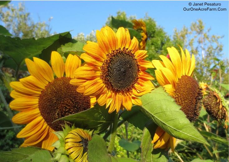 how to grow sunflowers indoors