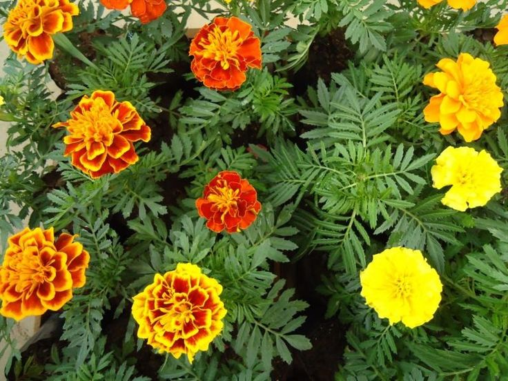 flor cravo da india - Google Search