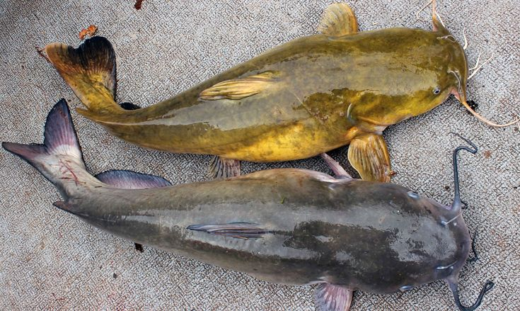 How to Catch Catfish - Fishing for catfish in winter