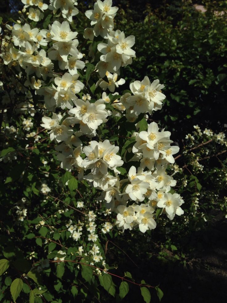 My Philadelphus lewisii, or loistojasmike as I know it, blooms every summer like it was her last... ;)