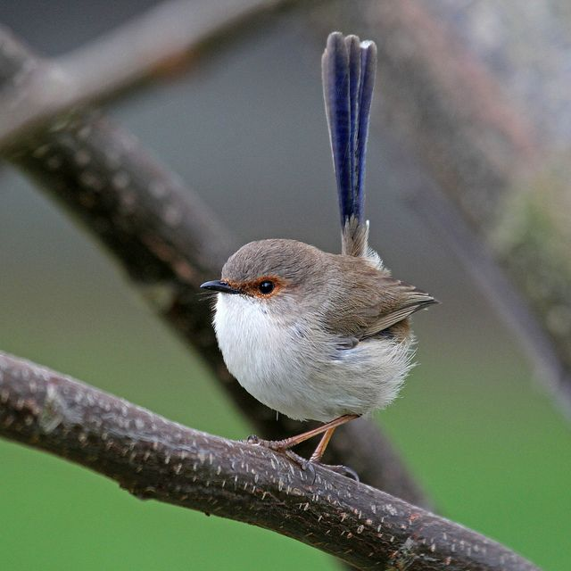 Superb Fairy Wren Male in Eclipse Plumage by Christina Port
