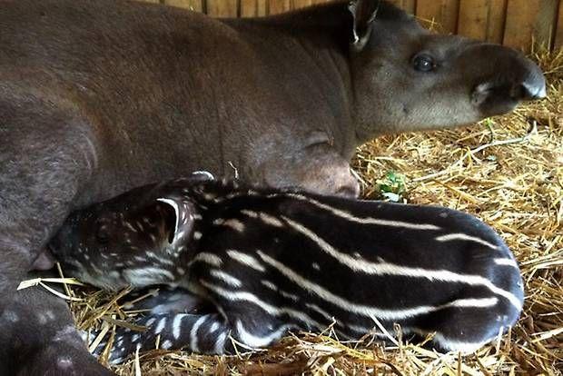 Tapir har fötts på Parken Zoo - Sverige - Göteborgs-Posten