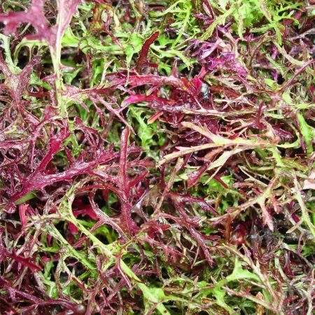 Red Streaks Mizuna Mustard Seeds - Bulk Herb Seeds for Growing Microgreens, Indoor Gardening: Micro Greens Salad (1 Lb)