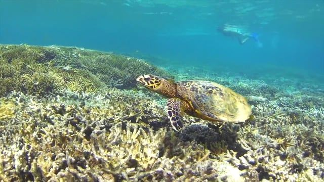15 sweet seconds of our full Heron Island Clip: https://vimeo.com/154563374?utm_source=email&utm_medium=vimeo-cliptranscode-201504&utm_campaign=28749&email_id=#share  © The Blonde Nomads 2016. Read our blog post about our visit to Heron Island, Australia here: http://www.theblondenomads.com.au/blog/baby-turtle-bliss-for-the-blondies-on-heron-island Contact: theblondenomads@outlook.com.au