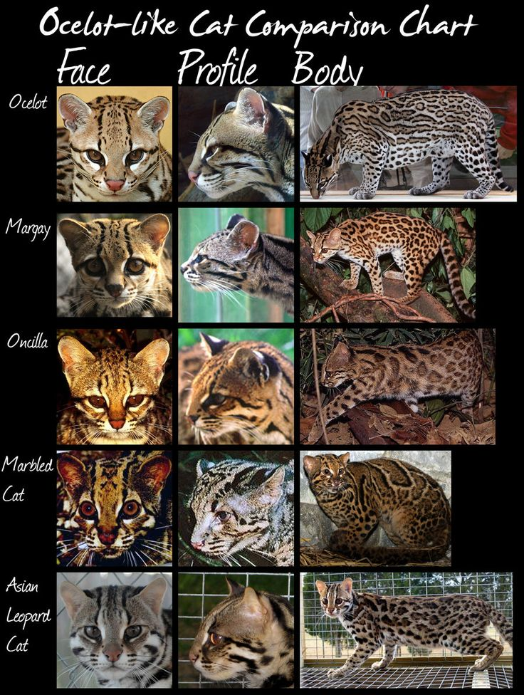 wild cats species comparison chart (Ocelot-like cats) by *HDevers on deviantART