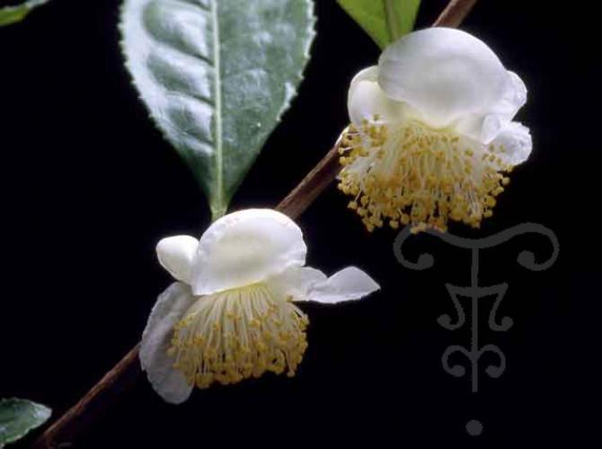 Camellia sinensis Kolkhida - theier - camélia - Pepiniere Botanique - Thoby - Gaujacq