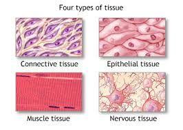 Imagini pentru pictures of cells and tissues
