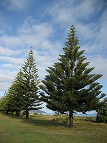 Norfolk Island Pine (Araucaria heterophylla, and my very first love in the tree world)
