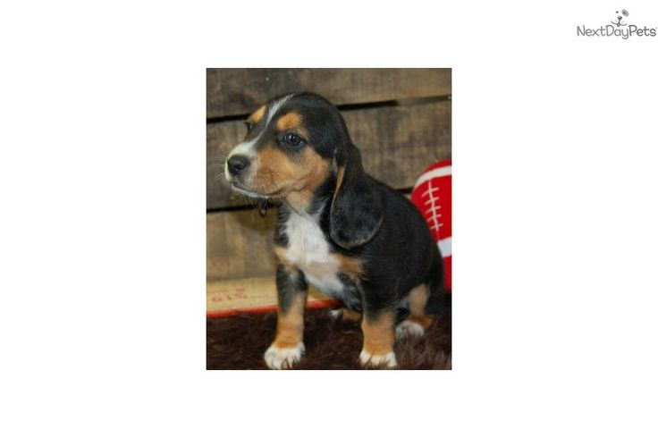 Meet Mini Beagles Pups a cute Beagle puppy for sale for $500. Male Mini Beagle Puppies Available