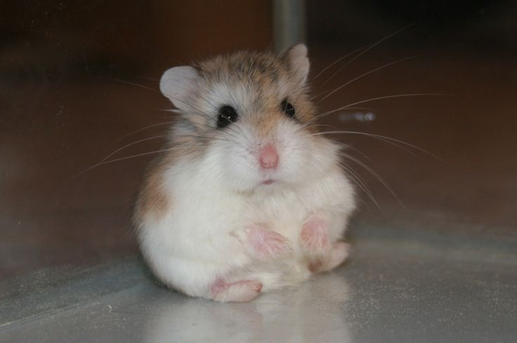 I love dwarf hamsters!!!! :)