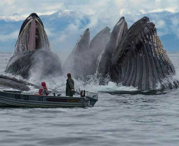 Photo by @breachingwhales - Humpback whales in Alaska.
