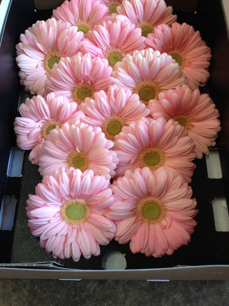 Large Gerbera's called 'Plot'! Sold in boxes of 25 or 50 stems from the Flowermonger the wholesale floral home delivery service.