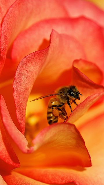 Bee Rosas by Danny Perez Photography on Flickr.