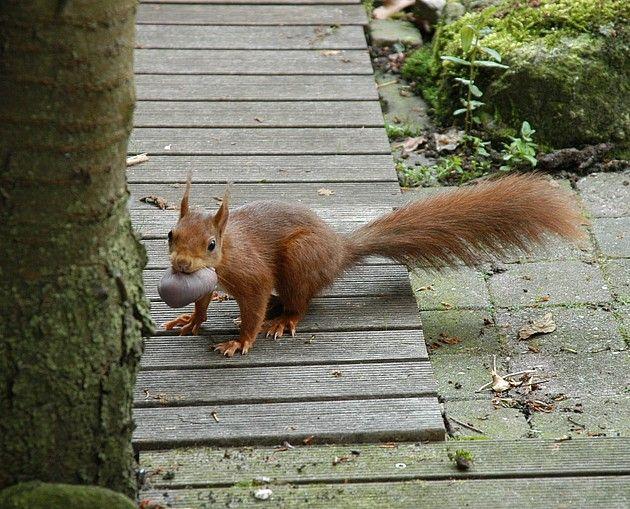 Eekhoorn Fotograaf: evertluc 3 keer heb ik deze eekhoorn met waarschijnlijk een jong in haar bek door mijn tuin zien rennen. Waar ze haar 3 jongen naar toe heeft gebracht heb ik niet kunnen waarnemen.