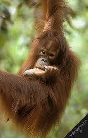 Orang Utan's time. Borneo Island. Nature Life.