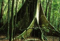 Buttress roots of a canopy tree in the rainforest of northern Queensland, Australia. Courtesy William Laurance, great site for learning about biodiversity, includes animations.