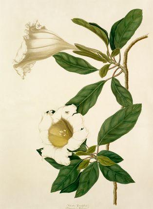 Margaret Meen -- Solandra grandiflora -- Margaret Meen -- Artists -- RHS Prints