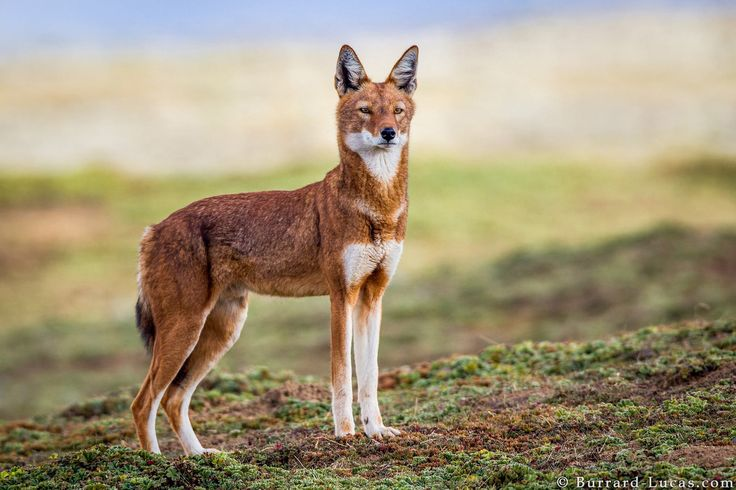 https://flic.kr/p/xkrJCd | Ethiopian Wolf | A beautiful Ethiopian wolf.