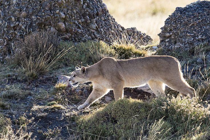 Puma stalking guanacos in Patagonia. by Jeff Vanuga - Photo 147879367 - 500px