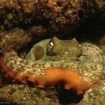 australian octopus dna species