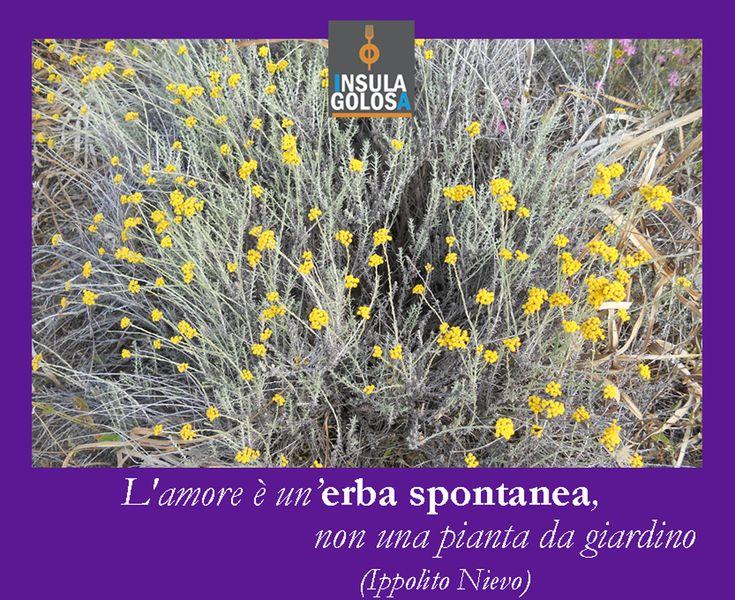 L'elicriso, l'erba più spontanea della Sardegna