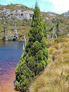 Athrotaxis cupressoides - Wikipedia