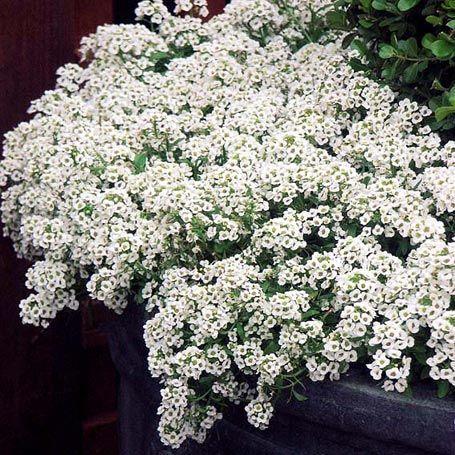#Steinkraut Schneeteppich: Es gehört mit duftenden Blumenteppichen aus unzähligen kleinen Blütchen in jedes Blumenbeet & auf jeden Balkon: das auch als #Alyssum bekannte, einfach  anziehbare und jederzeit verpflanzbare Steinkraut. Schneeteppich passt mit seinen weißen Blütchen zu jedem sommerlichen Arrangement. ( #Lobularia maritima). Abstand: 4–5 Pflanzen / Topf. Im Beet 20 x 15 cm. Ansprüche:  Sonniger bis halbschattiger Platz mit gutem Gartenboden oder Blumenerde. Regelmäßig gießen…
