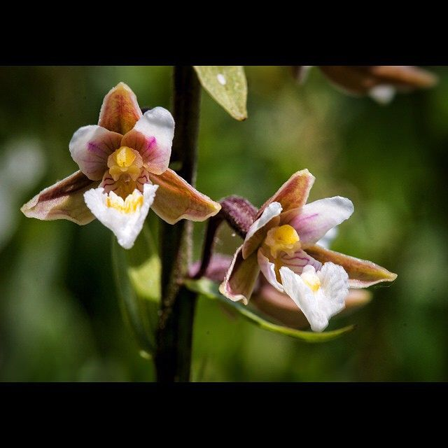 Dag 4 van de #orchis5daagse om de bloemenpracht van #hollandsduin te vieren nr4= moeraswespenorchis #orchid #wildflower #bns_flowers #bns_nature #staatsbosbeheer_featureme #HollandsDuin #wonderful_holland #rsa_flowers #rsa_nature #ig_flowers #instanetherl