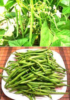 Выращивание спаржевой фасоли от посадки до сбора урожая | Дача - впрок