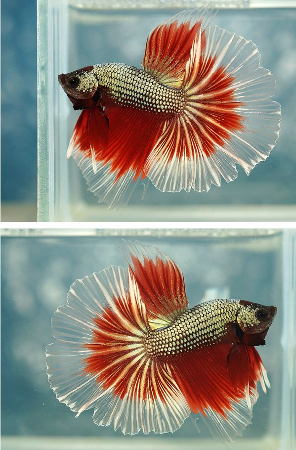 Photos -Siamese fighting fish - Copper red pastel