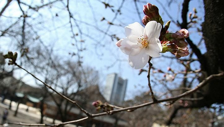A cherry blossom blooms at Yasukuhi Shrine, Tokyo on Saturday, March 16, 2013. Japan's weather agency announced the official beginning of cherry blossom season in Tokyo on Saturday, equalling the record for the earliest ever start. -- PHOTO: AFP