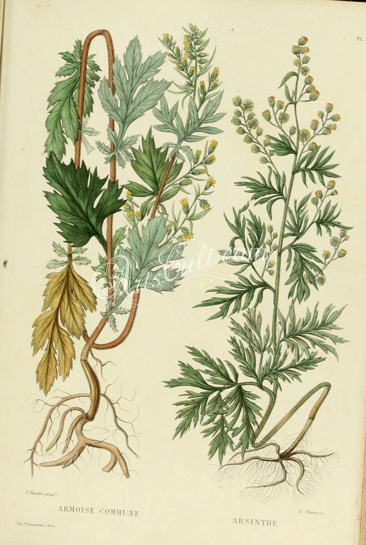 artemisia vulgaris, artemisia absinthium      ...