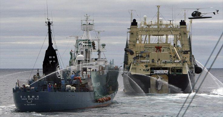 Japão inicia no sábado nova temporada de caça à baleia no Pacífico Norte