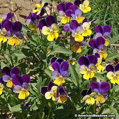 This is the much-loved wild violet form native to Europe.  Once it is established, it spreads rapidly. Perennial.
